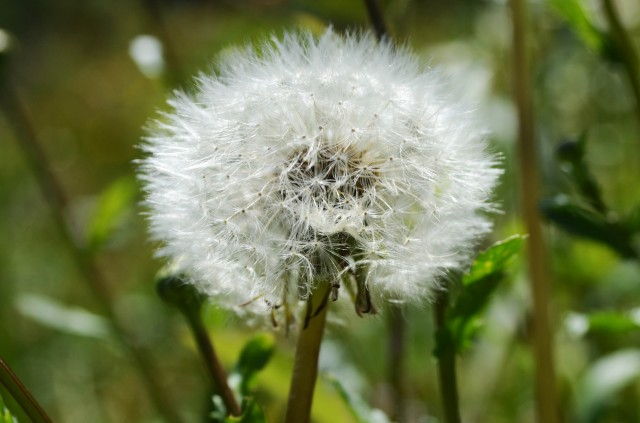 ...dandelion clock....Make a wish...!!!