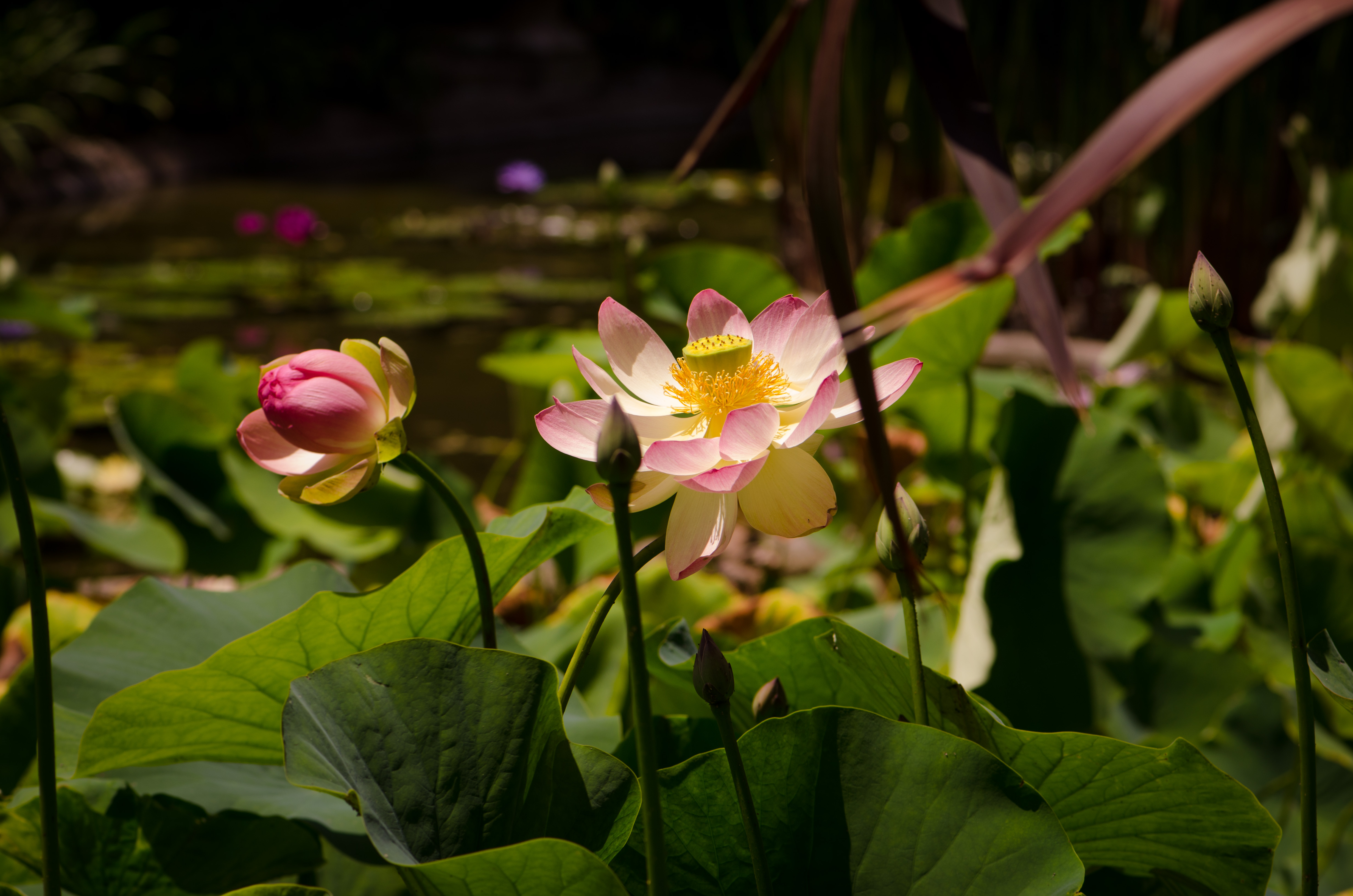 The Lotus Flower A Sacred Flower Corneliaweberphotography