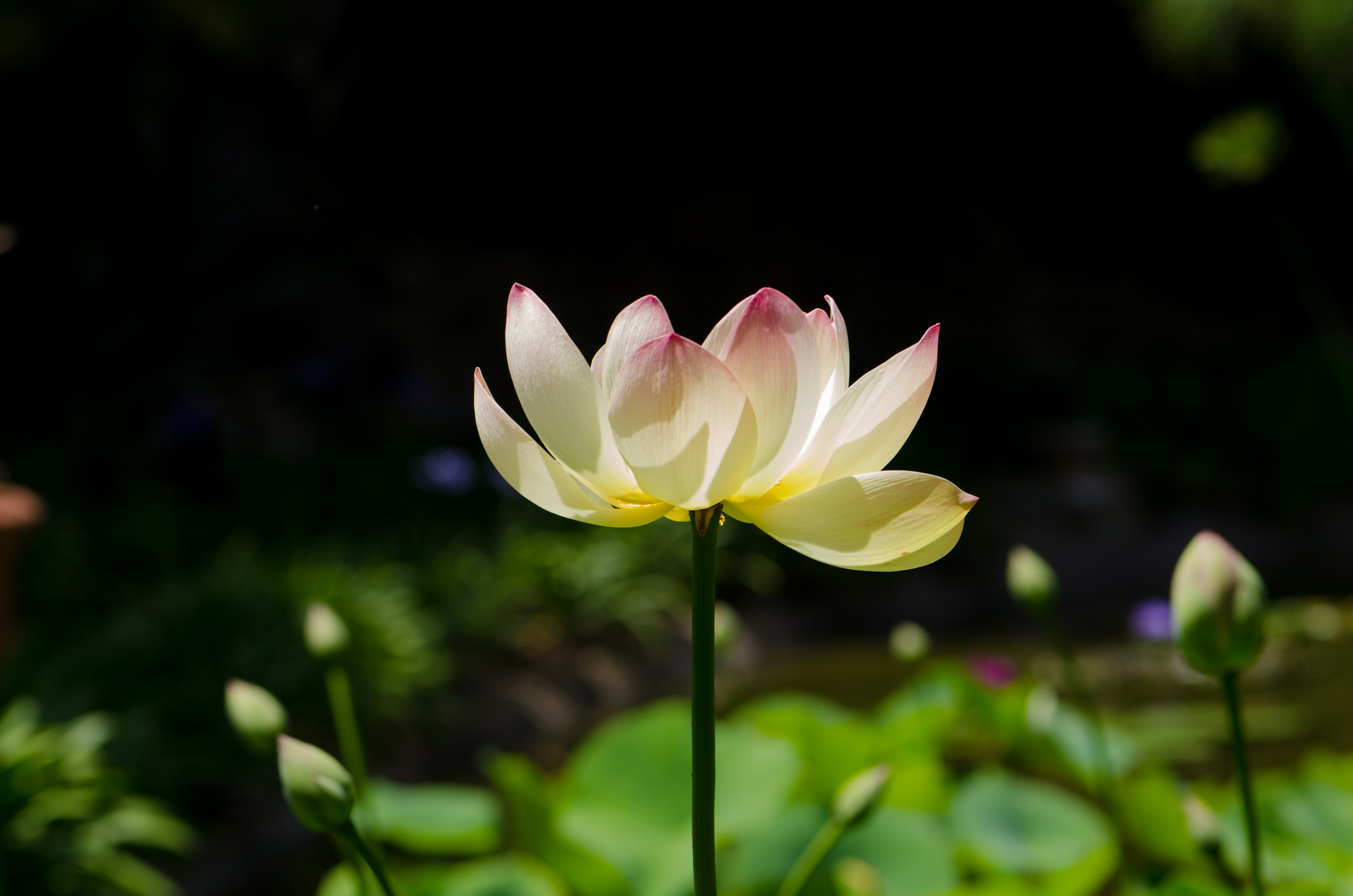 The lotus flower a sacred flower corneliaweberphotography all these images are copyrighted and protected by corneliaweberphotography and are not allowed to be copied or used for any purposes if you do wish to izmirmasajfo