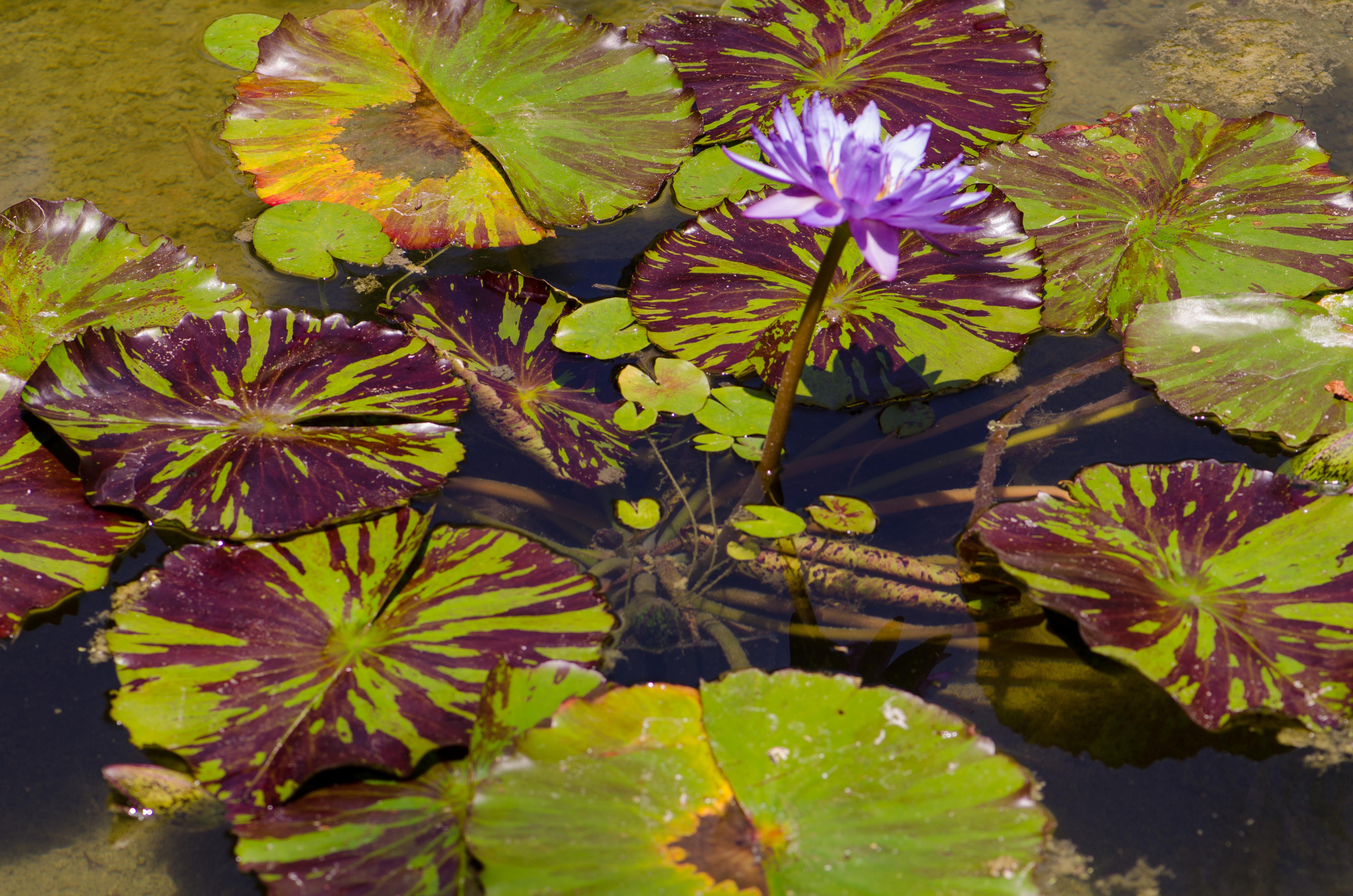 The Lotus Flower A Sacred Flower Corneliaweberphotography