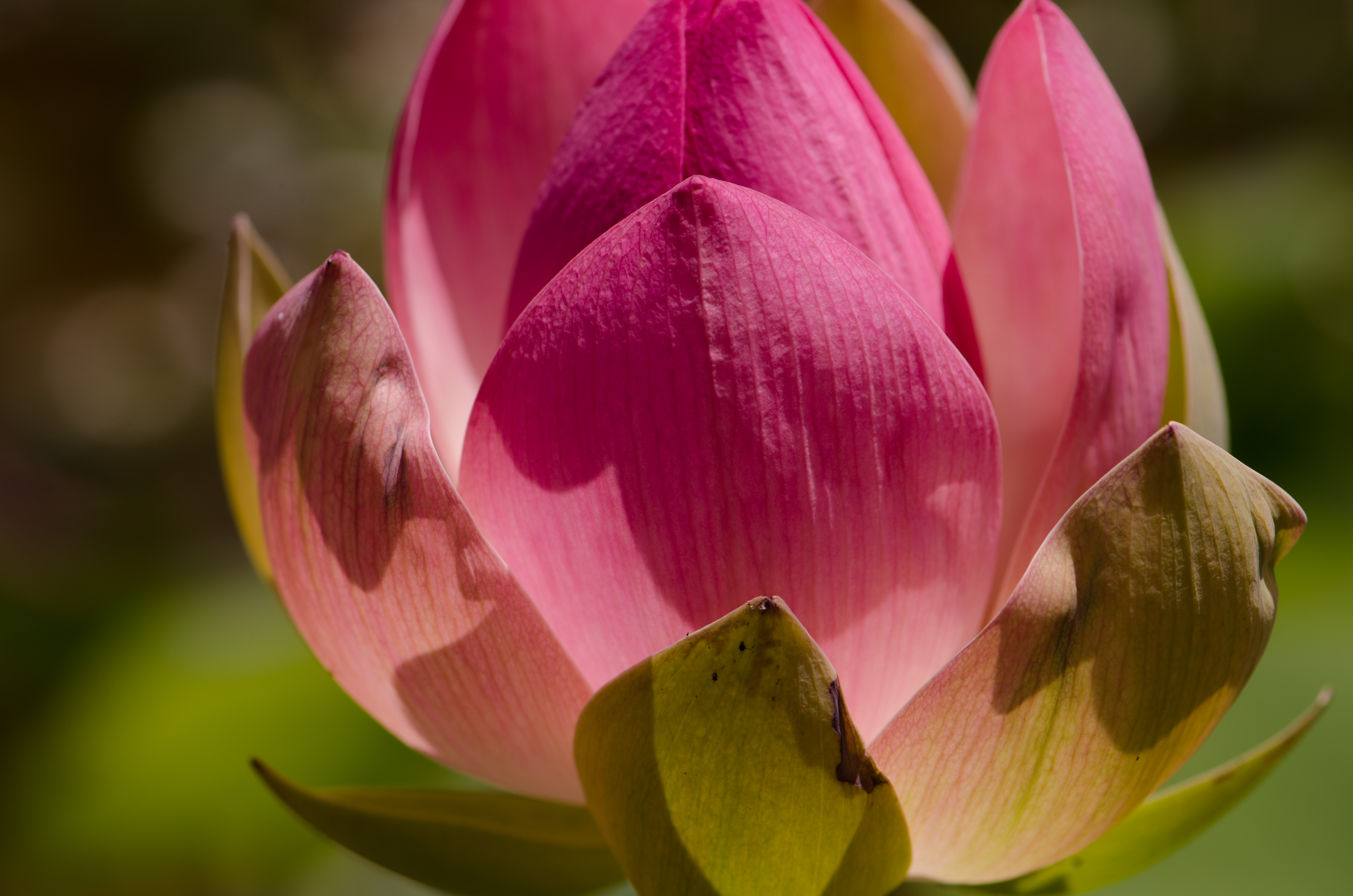 The lotus flower a sacred flower corneliaweberphotography this sacred lotus flower could live for a thousand years izmirmasajfo Gallery