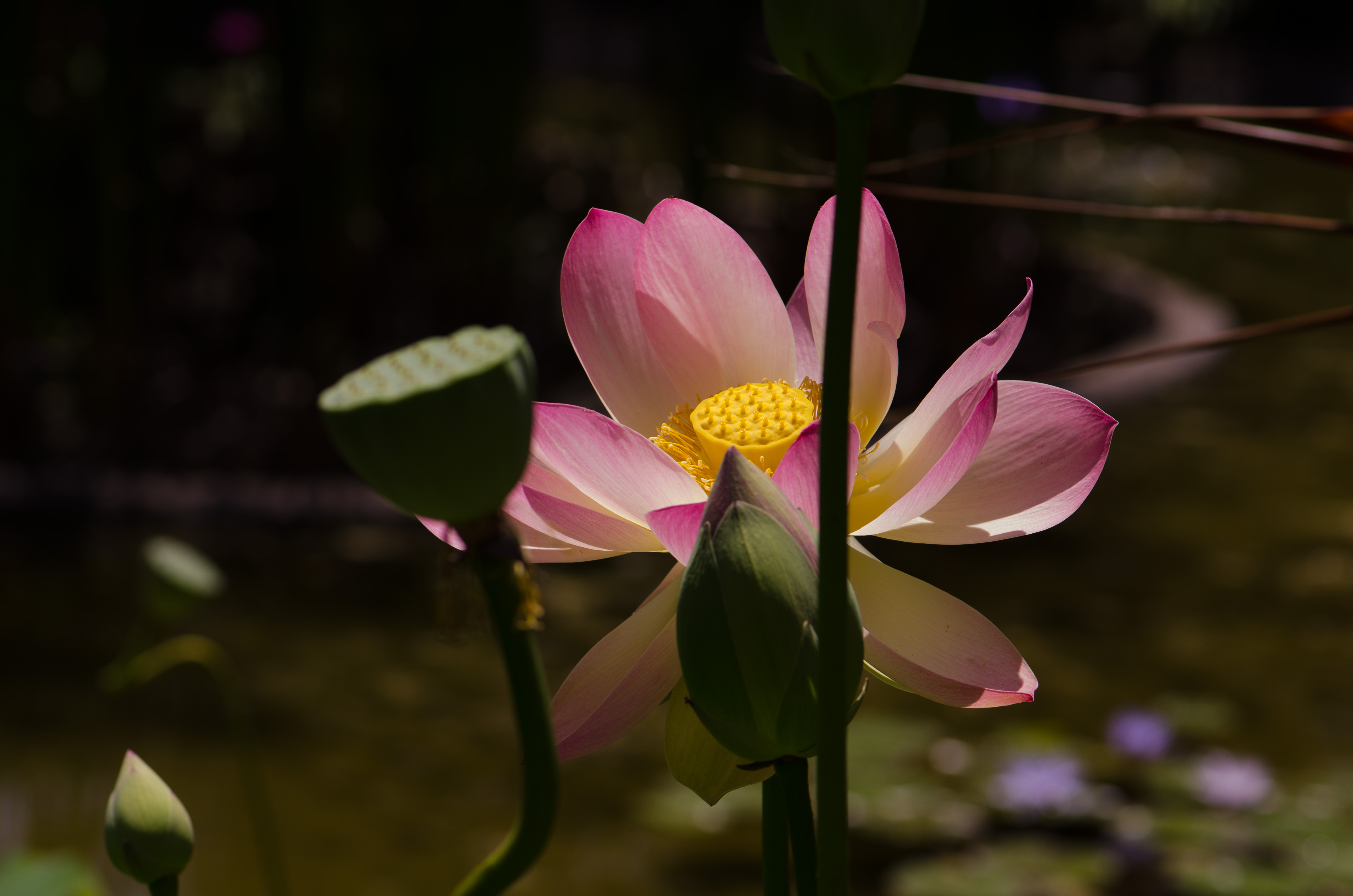 The lotus flower a sacred flower corneliaweberphotography the white colored lotus flower is the most purest izmirmasajfo Images